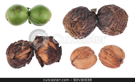 The four stages of maturation of walnut stock photo, The four stages of maturation of walnut, isolated on white background by alekleks