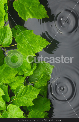 Green leaves in water  in the rain stock photo, Green leaves in water  in the rain, with space for your text by alekleks