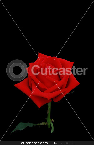 Red rose flower side view isolated on black screen. stock photo, Red rose flower side view isolated on black screen closeup to look detail of petal. by Kanakom