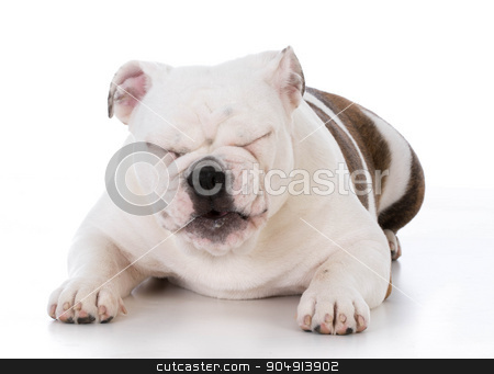dog laughing stock photo, bulldog puppy laughing with silly expression on white background by John McAllister