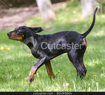 dog walking stock photo, black and tan coonhound on the grass by John McAllister