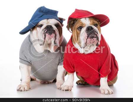 two bulldogs stock photo, two english bulldogs wearing sweaters and hats on white background by John McAllister