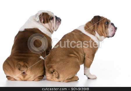 two dog looking over shoulder stock photo, two english bulldog from backside looking over shoulder by John McAllister