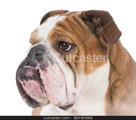 bulldog portrait stock photo, english bulldog portrait on white background by John McAllister