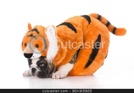 dog wearing tiger costume stock photo, bulldog puppy wearing tiger costume on white background by John McAllister