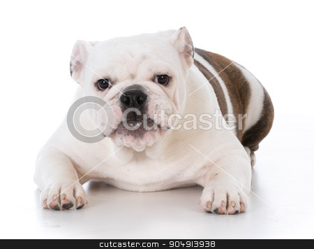 bulldog puppy stock photo, bulldog puppy with adorable expression on white background by John McAllister