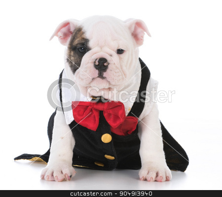 male puppy stock photo, male bulldog puppy wearing tuxedo and red bowtie on white background by John McAllister