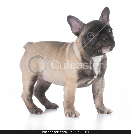 cute puppy stock photo, french bulldog with cute expression standing on white background by John McAllister