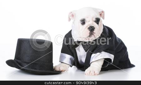 cute puppy stock photo, adorable english bulldog puppy wearing tuxedo on white background by John McAllister