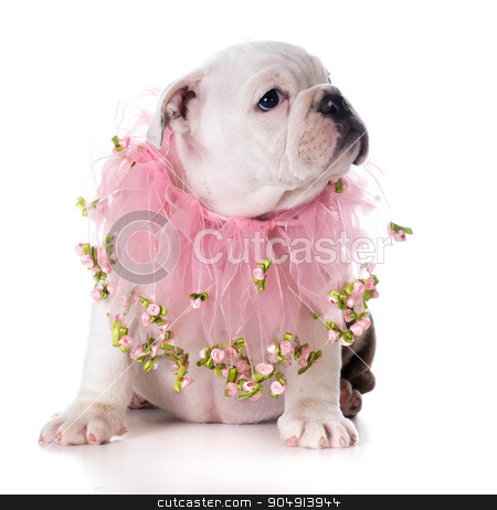 female puppy stock photo, female bulldog puppy sitting on white background by John McAllister