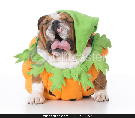 dog dressed like a pumpkin stock photo, bulldog wearing pumpkin costume isolated on white background by John McAllister