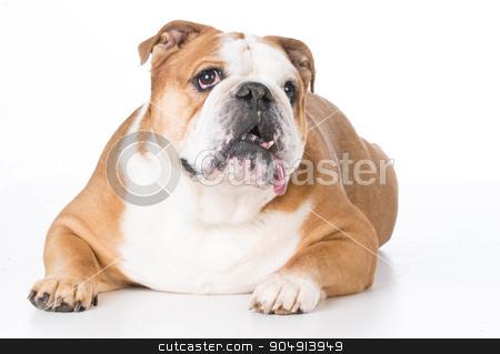 english bulldog stock photo, english bulldog laying down isolated on white background by John McAllister