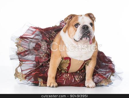female dog stock photo, bulldog wearing ballerina costume sitting on white background by John McAllister