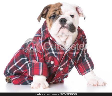 cute puppy stock photo, cute bulldog puppy wearing a plaid shirt on white background by John McAllister