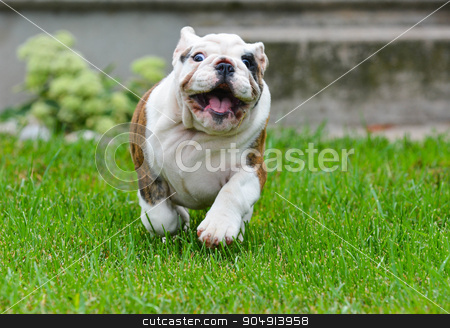 bulldog puppy stock photo, bulldog puppy outdoors running towards viewer by John McAllister