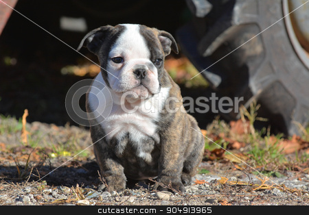 bulldog puppy stock photo, bulldog puppy outdoors sitting by a tractor by John McAllister