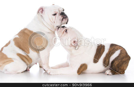 bulldog mother and daughter stock photo, bulldog puppy nuzzling up to her mother on white background by John McAllister