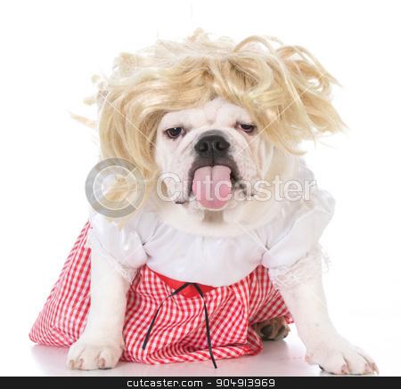 female bulldog stock photo, female bulldog with attitude wearing wig and dress  by John McAllister