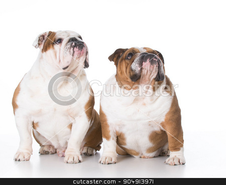 two dogs looking up stock photo, two bulldogs looking up on white background by John McAllister
