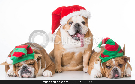 christmas dogs stock photo, three bulldogs dressed up for christmas on white background by John McAllister