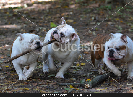 dogs playing stock photo, three bulldogs playing outside in the woods in autumn by John McAllister