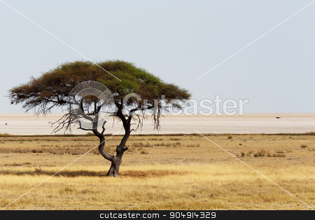 Large Acacia tree in the open savanna plains Africa stock photo, Typical large Acacia tree in the open savanna plains of East Africa, Botswana Hwankee by Artush