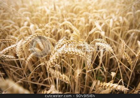 field of ripening wheat ears or rye spikes stock photo, agriculture, farming, cereal , land cultivation and texture concept - field of ripening wheat ears or rye spikes by Syda Productions