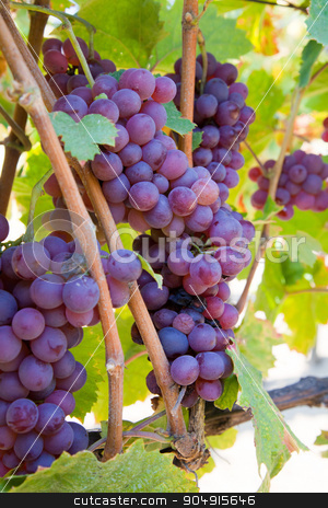 Wine grapes  stock photo, Wine grapes on the vine by Digifoodstock