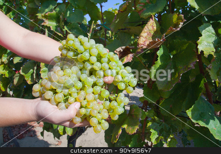 Vineyard crop stock photo, Human hands holding bunches of grapes in a vineyard by Digifoodstock