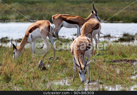 herd of springbok on waterhole  stock photo, herd of springbok on waterhole in Etosha national park, Namibia by Artush