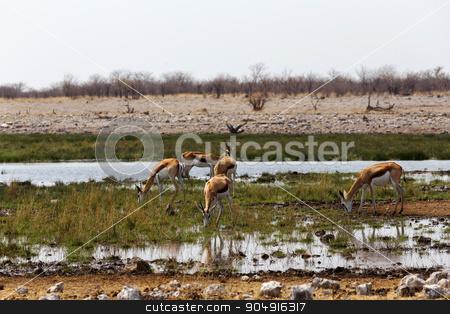 herd of springbok on waterhole  stock photo, herd of springbok on waterhole in Etosha national park, Namibia by Artush