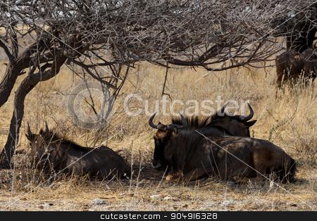 wild Wildebeest Gnu stock photo, wild Wildebeest Gnu standing in desert, Etosha Park, Namibia, true wildlife by Artush