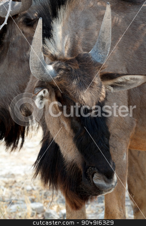 wild Wildebeest Gnu stock photo, wild Wildebeest Gnu standing in desert, Etosha Park, Namibia, true wildlife by Artush
