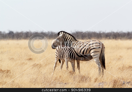 Zebra foal with mother in african bush stock photo, Zebra foal drinking milk from mother in african bush. Etosha national Park, Ombika, Kunene, Namibia. True wildlife photography by Artush