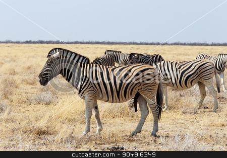 herd of Zebra in african bush stock photo, herd of Zebra in african bush. Etosha national Park, Ombika, Kunene, Namibia. Wildlife. by Artush