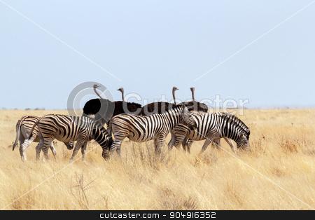 herd of Zebra and ostrich in african bush stock photo, herd of Zebra and ostrich  in african bush. Etosha national Park, Ombika, Kunene, Namibia. Wildlife. by Artush