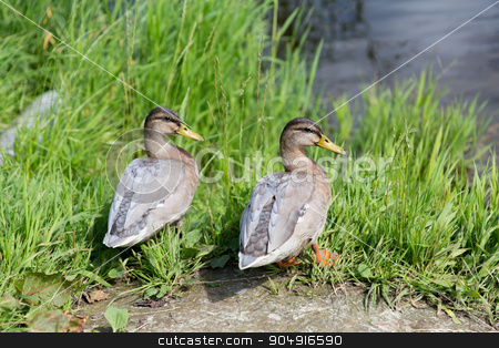 two ducks on river bank stock photo, nature, ornithology and birds concept - two ducks on river bank by Syda Productions