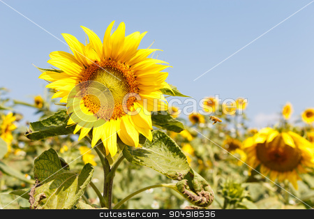 Sunflower stock photo, Sunflower and blue sky at Chiangrai ,Thailand by stockdevil