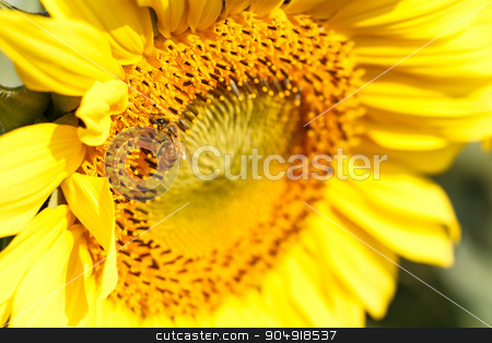 Close up of sunflower and be stock photo, Close up of sunflower and bee at Chiangrai ,Thailand by stockdevil