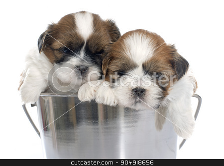 young puppies shitzu stock photo, young puppies shitzu in front of white background by Bonzami Emmanuelle