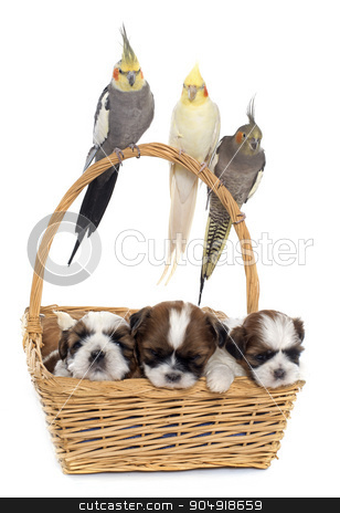 three cockatiel and dogs stock photo, three cockatiel and dog in front of white background by Bonzami Emmanuelle