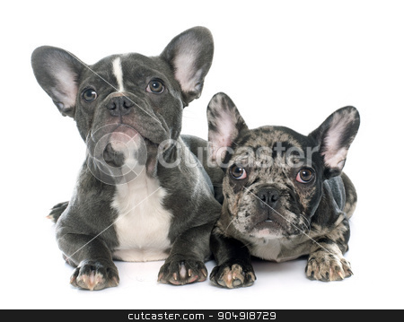 puppies french bulldog stock photo, puppies french bulldog in front of white background by Bonzami Emmanuelle