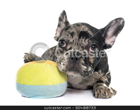 puppy french bulldog stock photo, puppy french bulldog in front of white background by Bonzami Emmanuelle
