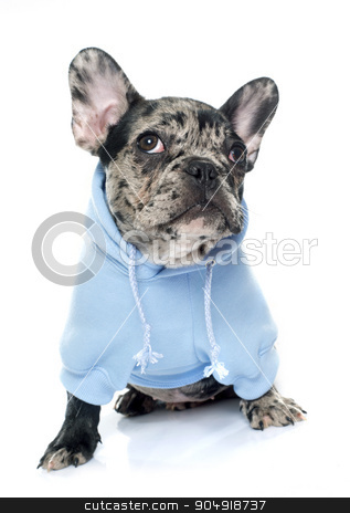 dressed puppy french bulldog stock photo, dressed puppy french bulldog in front of white background by Bonzami Emmanuelle