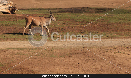 Grant's gazelle, Nanger granti stock photo, Grant's gazelle, Nanger granti, is found in northern Tanzania, Africa by Stephanie Starr