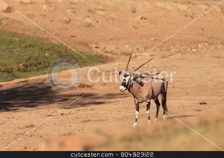 Gemsbok, Oryx gazelle stock photo, Gemsbok, Oryx gazelle, is golden brown with a face mask and horns, and can be found in South Africa by Stephanie Starr