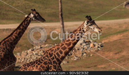 Giraffes, Giraffa camelopardalis stock photo, Giraffes, Giraffa camelopardalis, are found in Africa have long necks to help them eat the leaves off trees. by Stephanie Starr