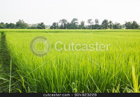 Rural rice field green grass stock photo, Rural rice field green grass, stock photo by nalinratphi