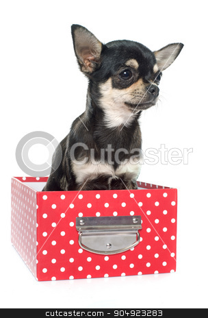 purebred puppy chihuahua stock photo, purebred puppy chihuahua in front of white background by Bonzami Emmanuelle