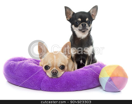 purebred puppies chihuahua stock photo, purebred puppies chihuahua in front of white background by Bonzami Emmanuelle